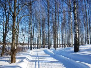 Березовый лес зимой