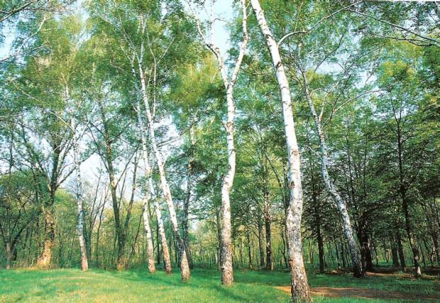 Березовый лес летом