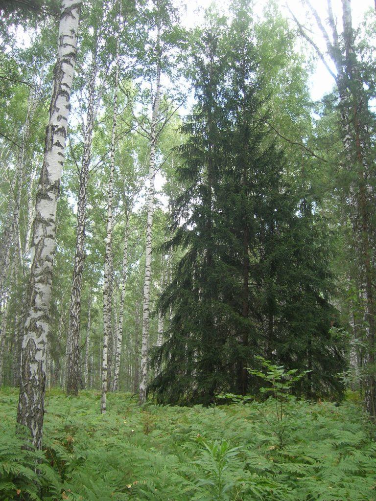Лес в Академгородке
